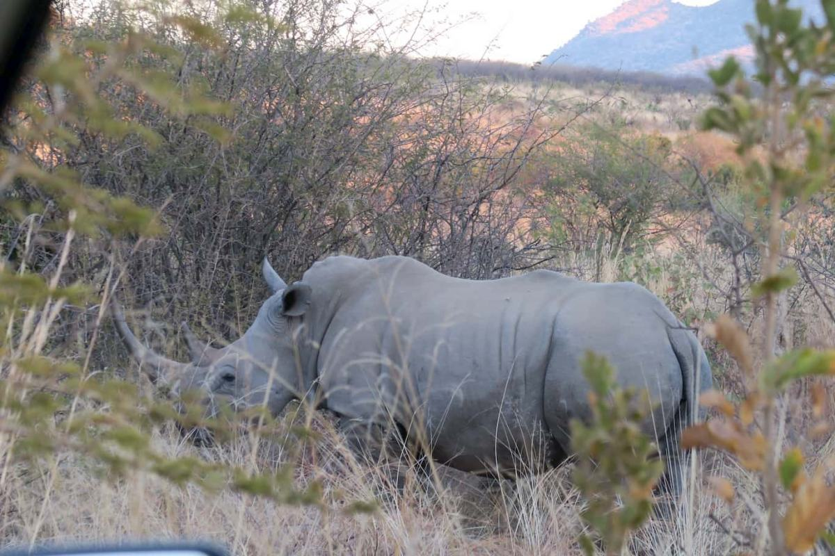 White Rhino in Pilanesberg Nature Reserve South Africa