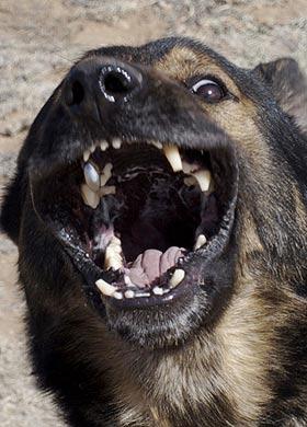 Titanium Dog Teeth : titanium, teeth, Titanium-tooth, Laden, Assault