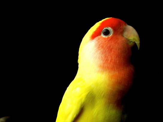 love_color_of_lovebird_by_nacion33-d4t6dz5