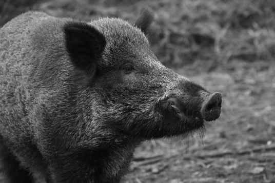 animal black and white pig wild animal