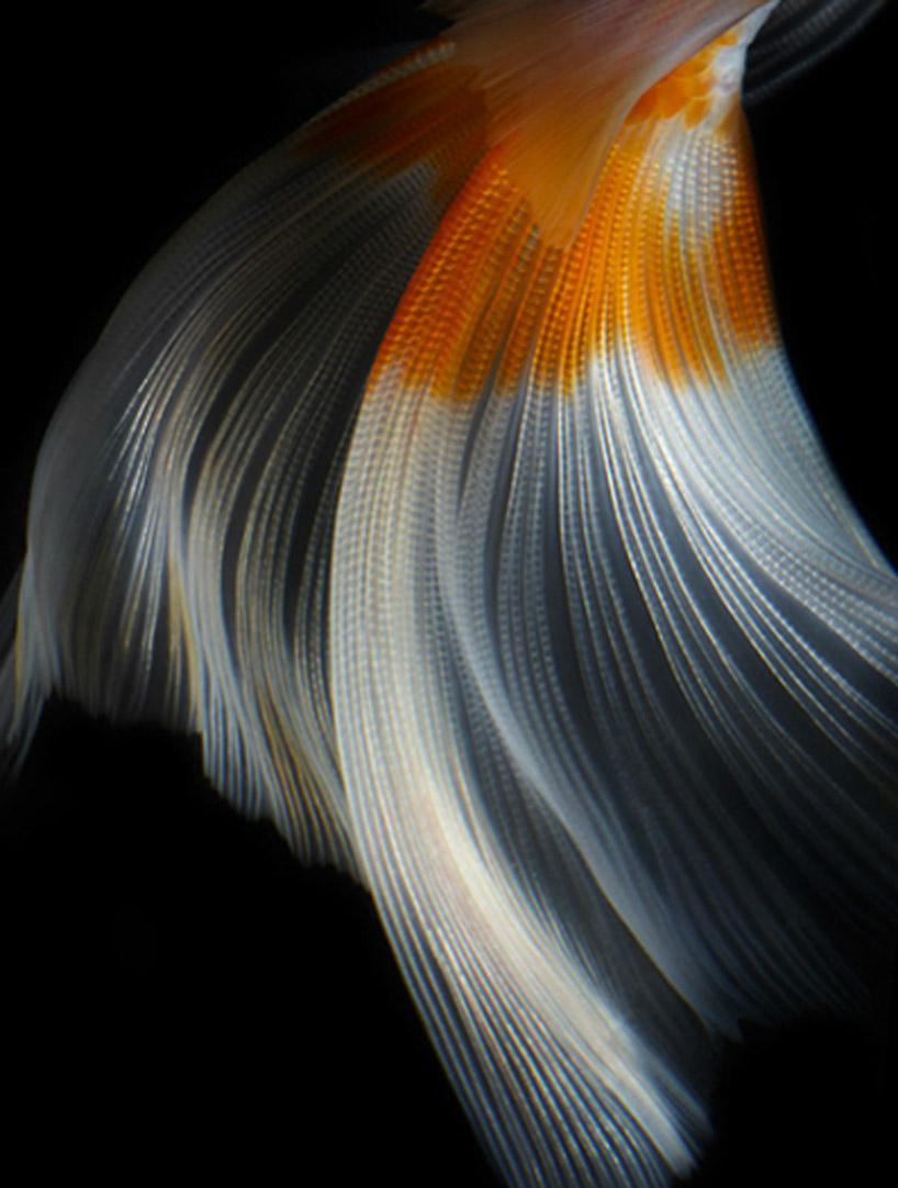 Goldfish Still Life Photography  Hiroshi Iwasaki  The Superslice