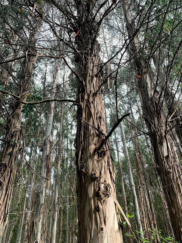 Camino De Santiago: Eucalyptus Forest