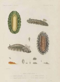 Voyage de découvertes de l'Astrolabe, exécuté par ordre du roi, pendant les années 1826-1827-1828-1829, sous le commandement de M. J. Dumont d'Urville - Page 039