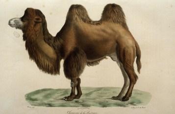 Histoire naturelle des mammifères, Wermer, Maréchal, Huet, C. de Lasteyrie, Etienne Geoffroy Saint-Hilaire, Frédéric Cuvier - 4