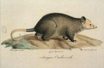 Histoire naturelle des mammifères, Wermer, Maréchal, Huet, C. de Lasteyrie, Etienne Geoffroy Saint-Hilaire, Frédéric Cuvier - 5