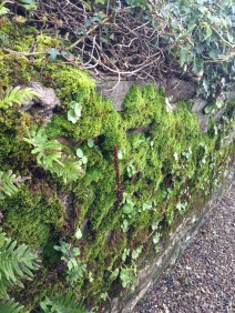 Edible hedgerows. Pennyworth (which featured in our recipes this week) is growing along the Ballymaloe stone walls. It has a lovely round leaf, a bit like a baby nasturtium.