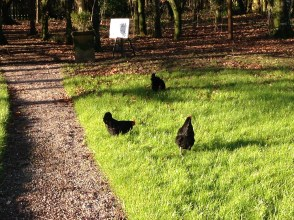 Hens getting their free range on