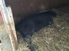 Truffles hits the hay.