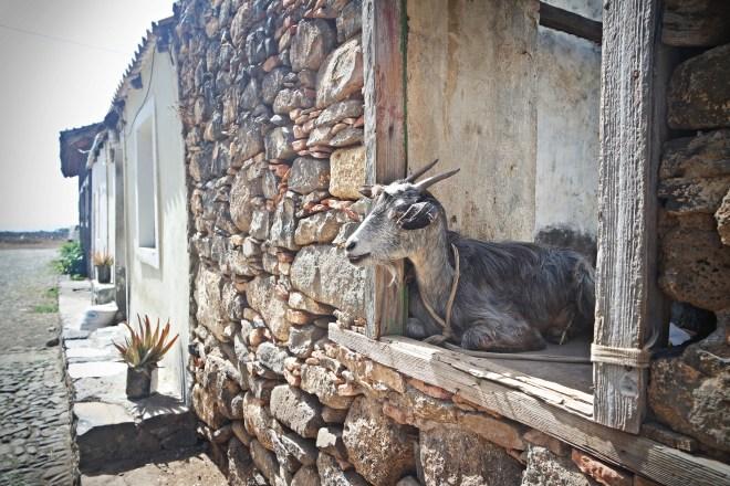 a goat sitting in a window in Cidade Velha, Cap Verde