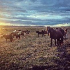 Icelandic horses during sunset