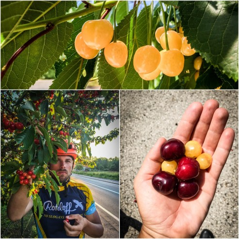 Collage of cherries and a bicycle rider eating cherries