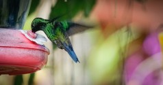 a colorful Colibri eating