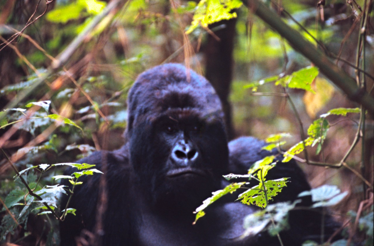 mountain gorillas in the Virunga National Park in the Democratic Republic of Congo