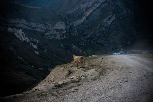 a cow in the moutains in Kazakhstan / Hitchhiking Journey