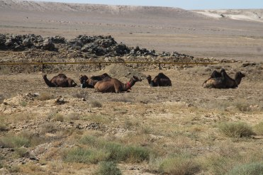 Camels in the desert in Kazakhstan