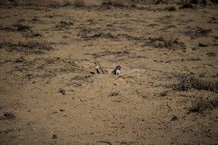 desert squirrels in Kazakhstan