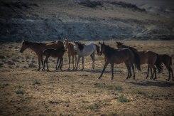 Wild horses in Mangystau, Kazakhstan