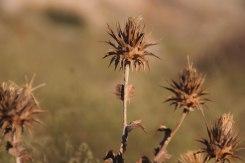 dry plant in Saura, Mangystau