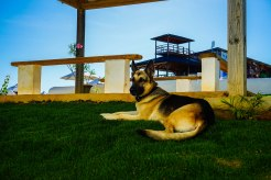 German shepherd lying in the gras at the Hotel Coco Honey Hill