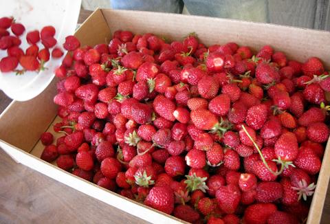Strawberry-3956
