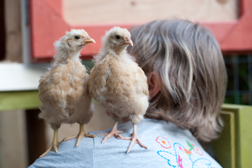 chickens-9431