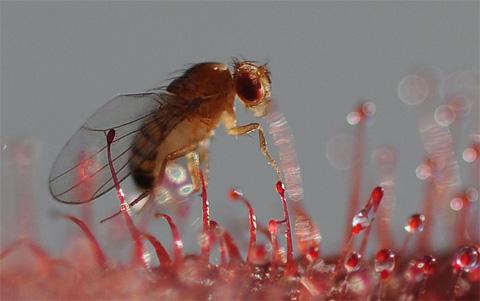 FruitflyECU_480