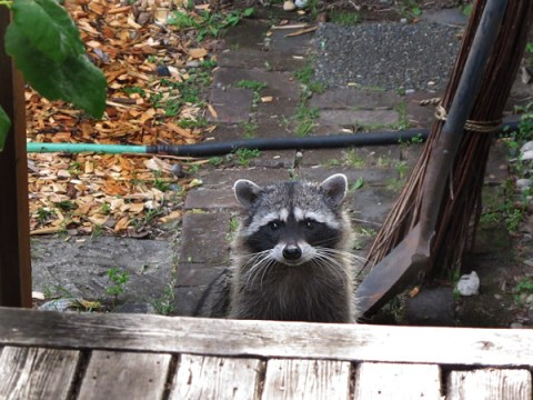 Raccoon-Stairs-600