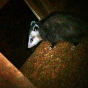 Opossum in the Chicken Coop – The Tangled Nest