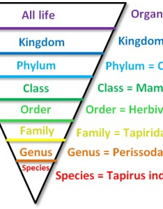 Classification chart of  tapir also the movement rh thetapirmovement weebly