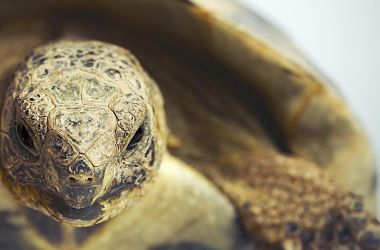 greek tortoise as pet