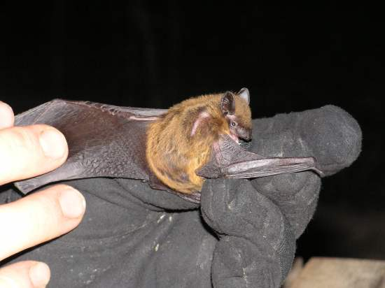 Evening Bats (Nycticeius Humeralis)