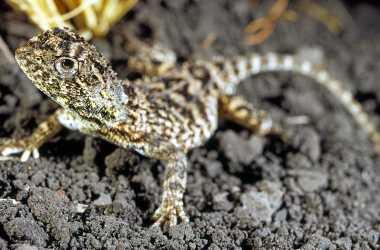 Roma Earless Dragon (Tympanocryptis Wilsoni)