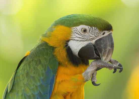 Parrot Fever (Psittacosis)
