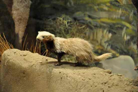 Patagonian Weasel