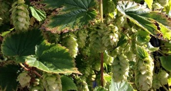 Hops: A Very Brief Crash Course
