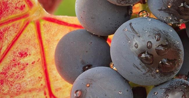 How do you Like them Grapes? Grenache vs Garnacha