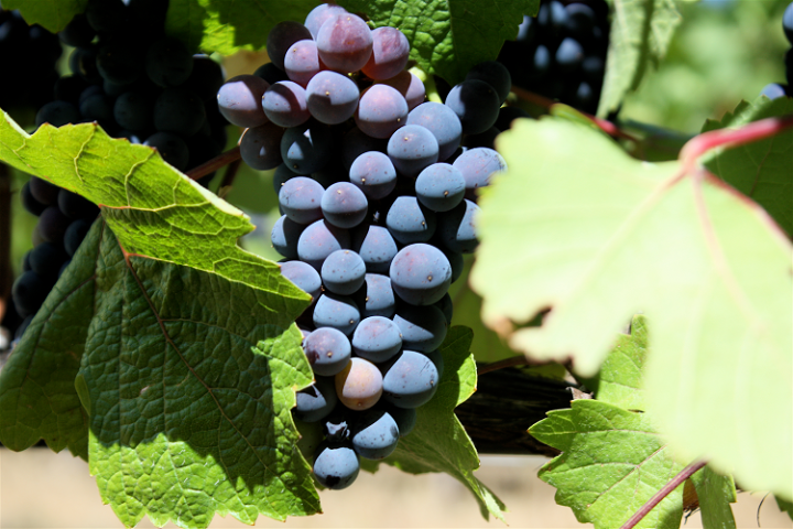 Pinots Everywhere From Pinot Noir to Pinot Gris, Meet this Unique Family 1