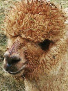 alpaca hike 5