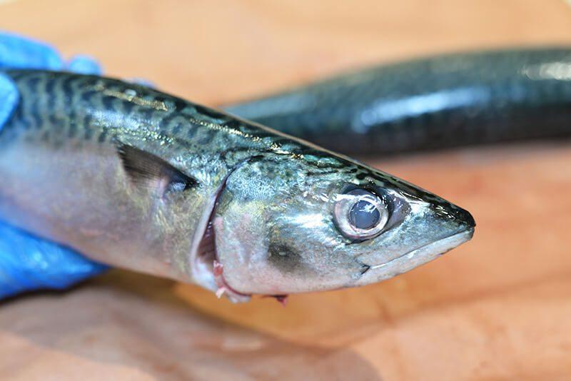 Roasted Pacific Mackerel in San Francisco Bay raw fish