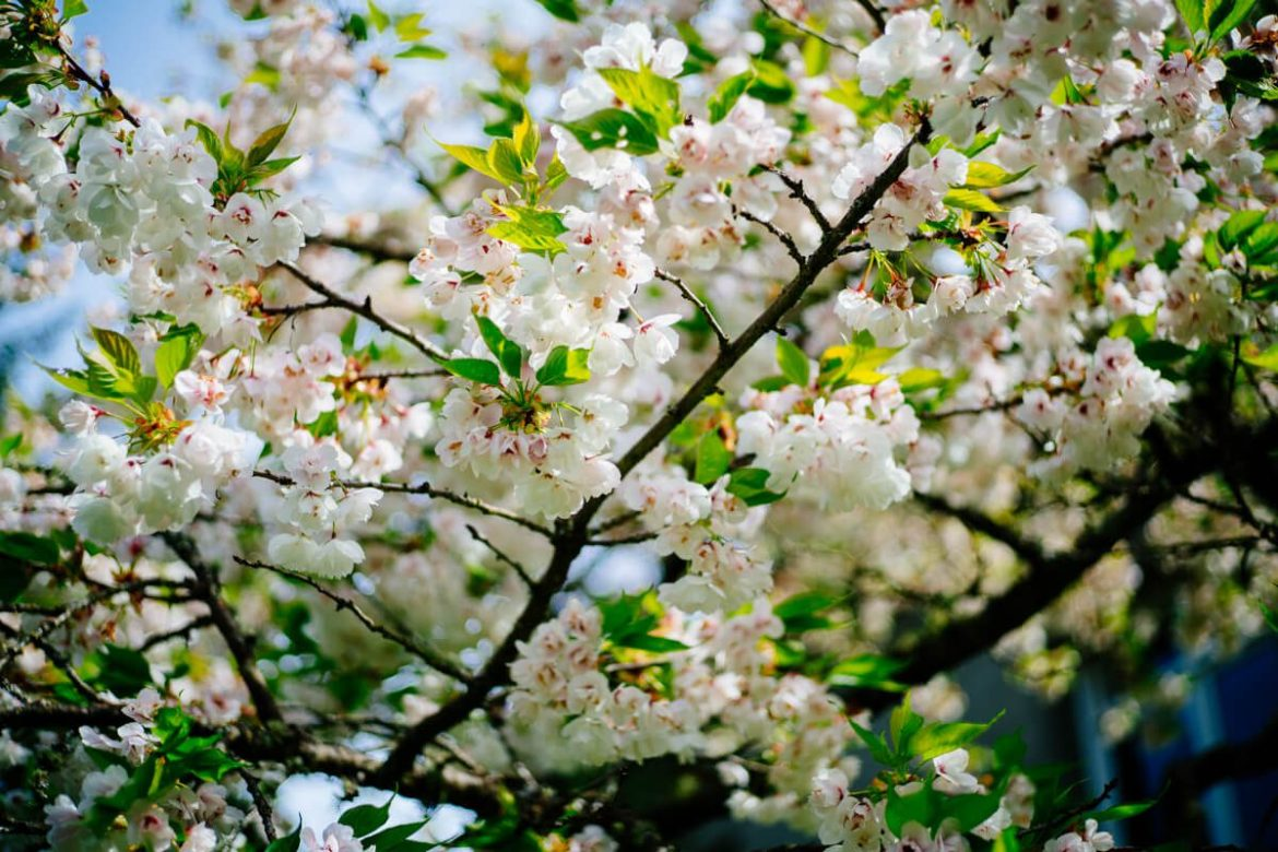View the Pear flowers outside of Portland in the Fruit Loop area of Washington State