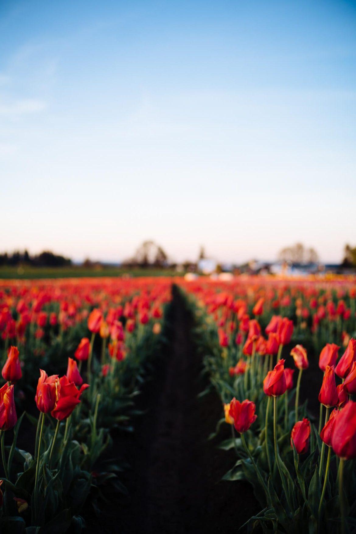 Visit the wooden shoe tulip farm near Portland Oregon, The Taste Edit