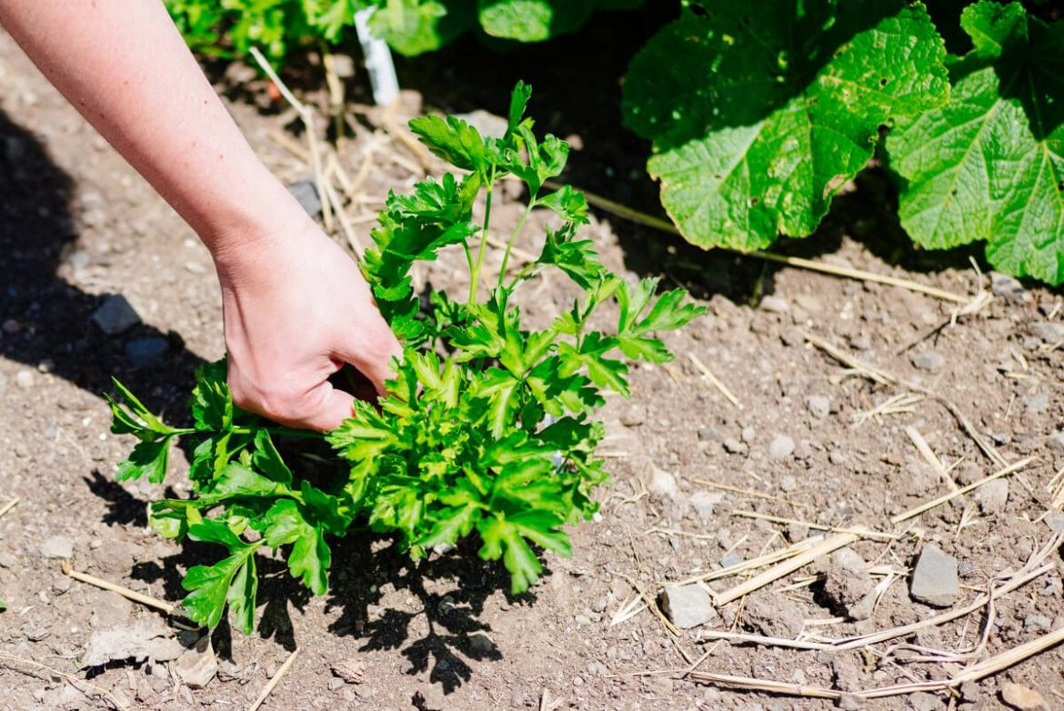 Picking Parsley on the farm
