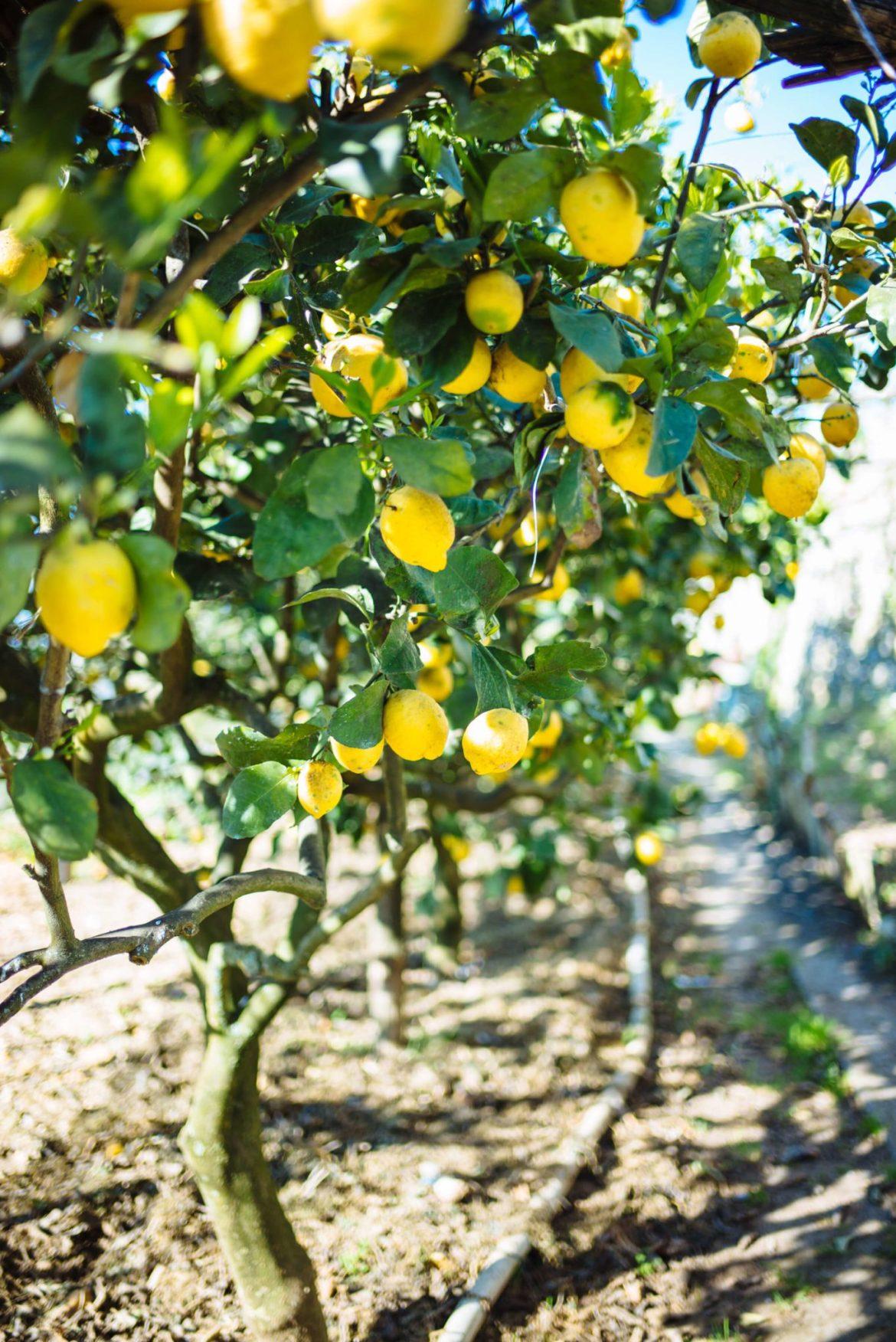 lemon trees at da gelsomina restaurant in capri, italy, the taste edit