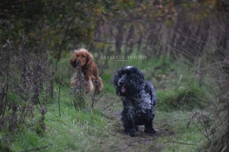 Leo and Alfie, Show Cocker Spaniels