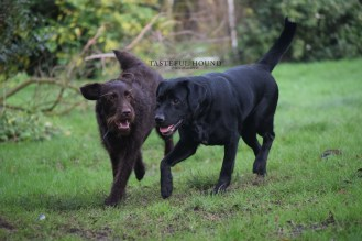 Clifford, Labradoodle with Emi, Labrador
