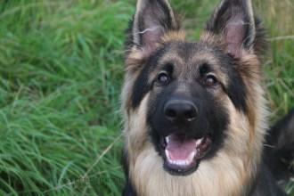 Teddy, German Shepherd