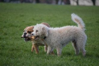 Nelly, British bulldog and Barney, Bichon Frise