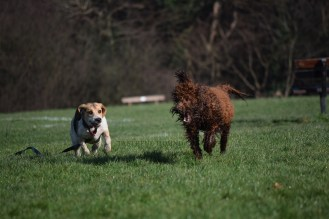 Georgie, Beagle and Austin, Labradoodle
