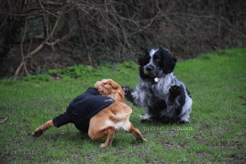 Hugo, Working Cocker Spaniel and Jack, Spaniel X