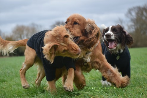 Hugo, Leo and Mia, Cocker Spaniels
